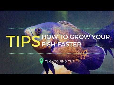 You Can Grow Your Oscar Fish Faster- From My Own Experience(Tamil)