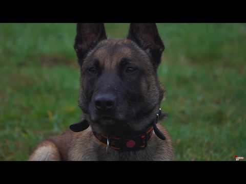 Chiv Belgian Malinois  Obedience