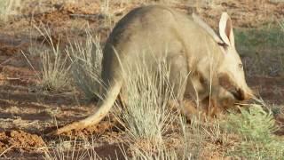 Aardvark - Tswalu Nature Reserve