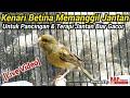 Kenari Betina Memanggil Jantan Agar Gacor  Mp3 - Mp4 Download