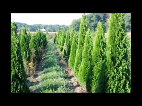 Screening Trees Raised in Bucks County     Emerald Greens and other evergreens   By EPG