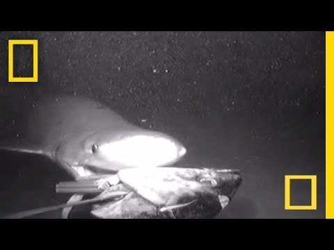 'Prehistoric' Shark Seen Attacking Deep Bait | National Geographic