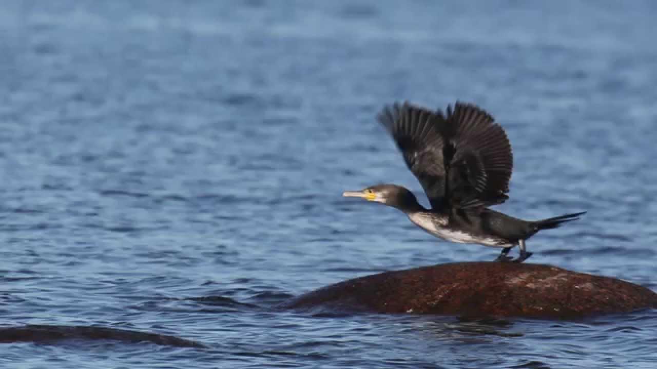 баклан птица фото