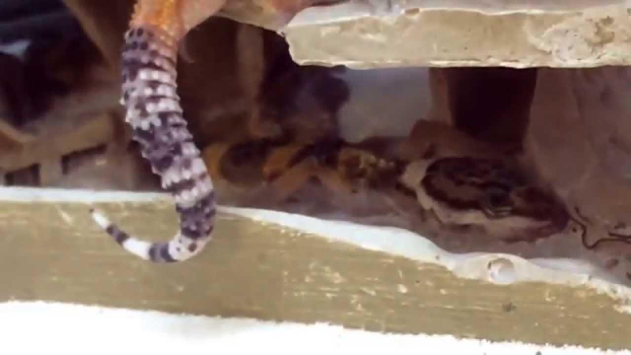 rotting geckos at petco youtube