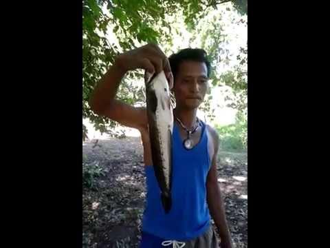 ตกปลาช่อน หน้าดิน โดยทีมงานตับไก่