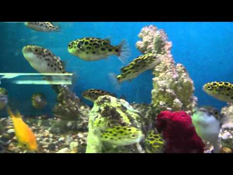 Green spotted puffer fish mike 39 s aquarium and pet for Puffer fish aquarium