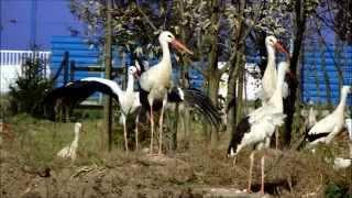 Bociany, które nie odleciały do Afryki, spędzają zimę w Przemyślu