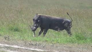 Warthog attacks newborn gazelle fawn