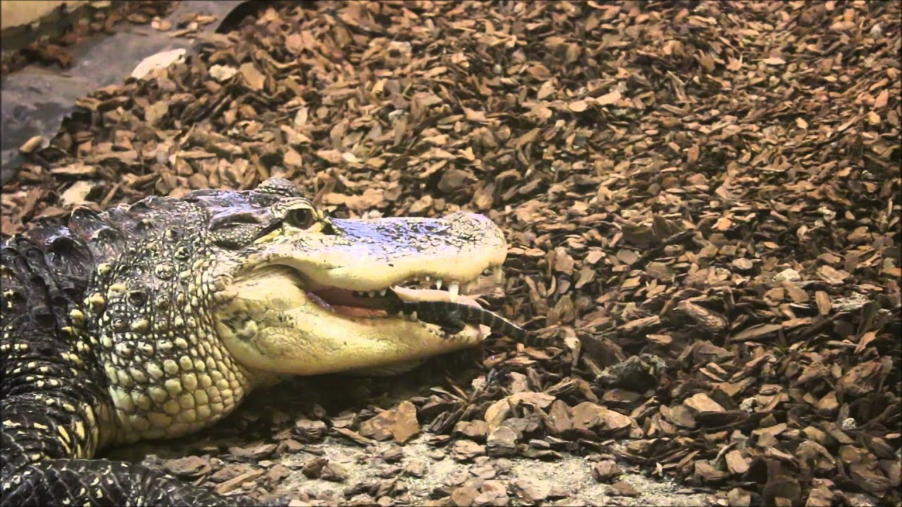 africa and mother crocodile watches Nile crocodile ends up on a leopard's menu in zambia nile crocodile ends up on a leopard's menu in zambia  of an african leopard dispatching a nile crocodile.