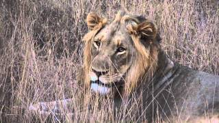 Brullende leeuw Thornybush