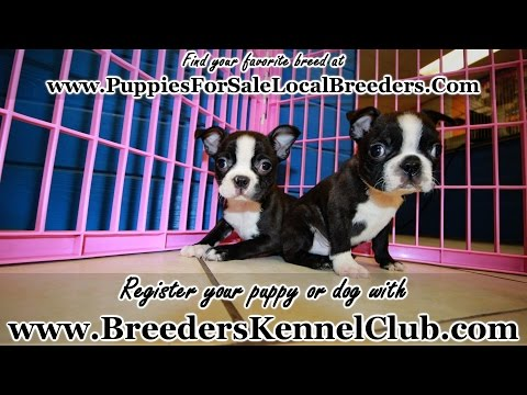 BOSTON TERRIER PUPPIES FOR SALE LOCAL BREEDERS