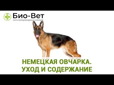 Вопрос: Как ухаживать за щенком немецкой овчаркой?