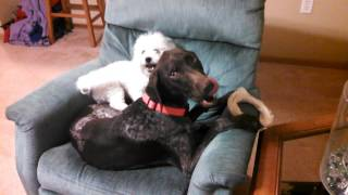 Benelli & Rocky Singing On The Rocking Chair!  - German Shorthair Pointer & Bichon Dogs!