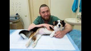 Расслабляющий массаж грудных конечностей для животных спинальников