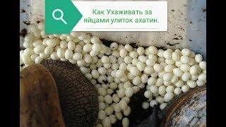 Яйца Улиток Ахатин. Как ухаживать за яйцами улиток.Улитки Ахатины.