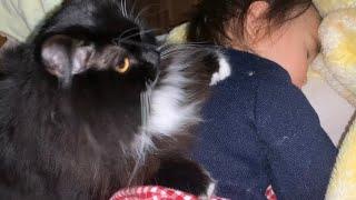 夜な夜な寝ている娘に乗るのが日課な猫 ラガマフィン A cat whose daily routine is to ride a sleeping daughter