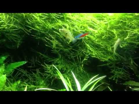 American flag fish eating hair string algae youtube for What fish eat algae