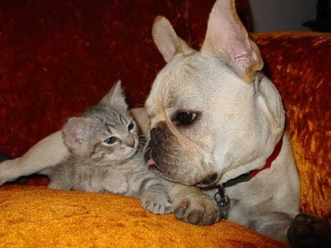 French Bulldog loves Cat - French Bulldog Vs Cats Videos 2017