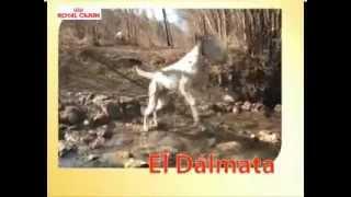 Royal Canin Dálmata Adulto-Su Mascota.es