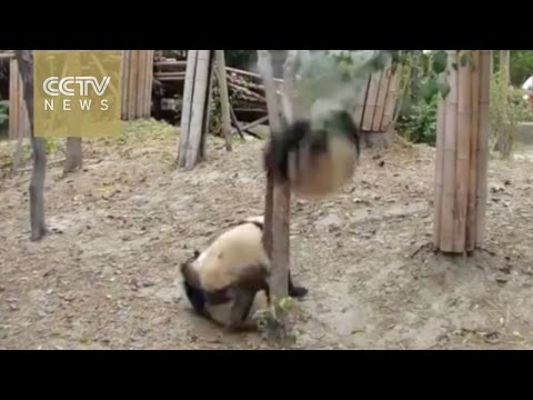 Panda falls from tree unhurt