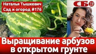 Выращивание арбузов в открытом грунте в умеренном климате