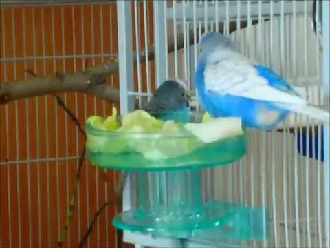 Quick Lock Bird Bath For My Budgies Fuglebad Til