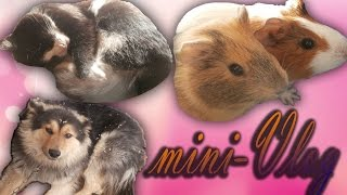 mini-Vlog:Собаки/Кот Симба/Морские Свинки/Песчанка Милка)