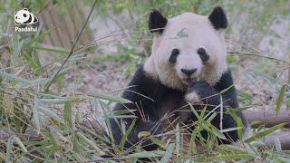 Do pandas live longer in captivity than in wild? | Pandaful Q&A