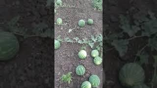 Обрыв первой завязи арбуза