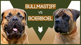 BULLMASTIFF VS BOERBOEL