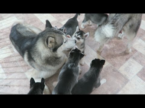 SIBERIAN HUSKY DAD PLAYING WITH HIS 9 PUPPIES FOR THE FIRST TIME | 6 WEEKS OLD!