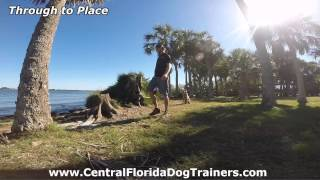 """Shepherd/coyote Mix """"zeus"""" Before And After Video! Dog Trainers In Central Florida"""