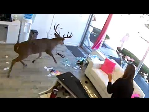 Deer crash into hair salon - 1073877