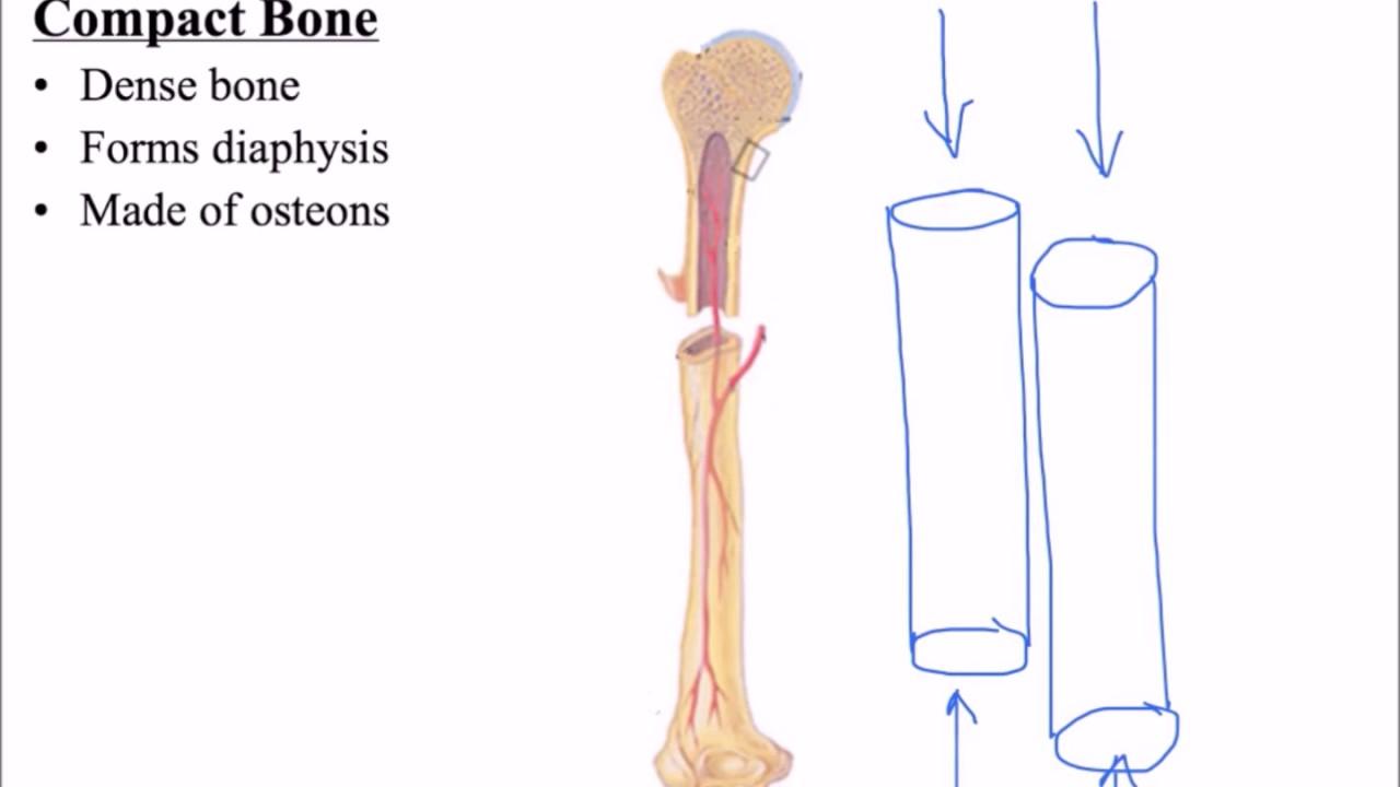 hight resolution of compact vs spongy bone