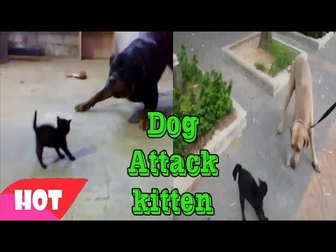 Dog attack kitten  - the battle between kitten and dog giant -  2 dogs attack kitten