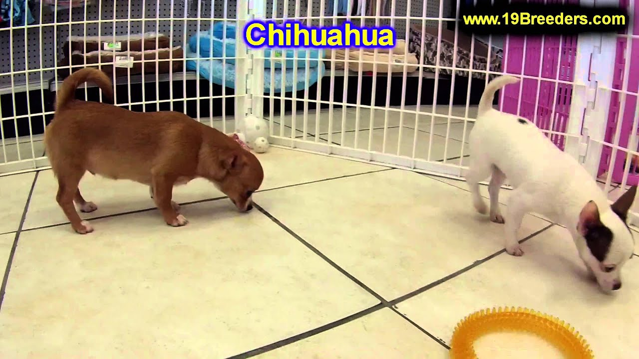 Chihuahua, Puppies, For, Sale, In, East Honolulu, Hawaii ...