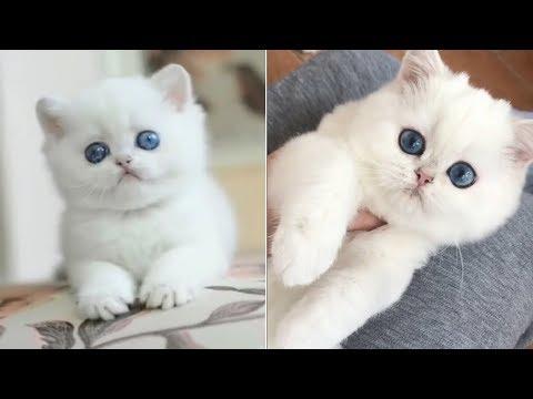 This Little Precious Snowball Fluffy Kitten Is Too Cute | Fluffy little white kitten