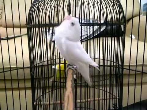 albino love bird,lb ngekek panjang