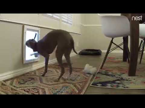Italian Greyhound trying to take a bully stick out through her doggy door
