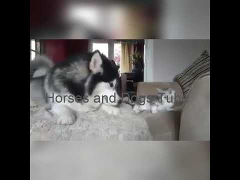 Dog Playing with Cat / Alaskan  Malamute Playing with cat