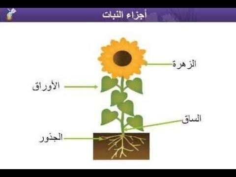 أجزاء النبات علوم الصف الثالث الابتدائي الفصل الأول منهج السعودية نفهم دروس مجانية Youtube