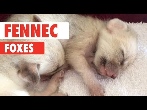 Fennec Fox Compilation 2018