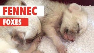Fennec Fox Compilation 2018