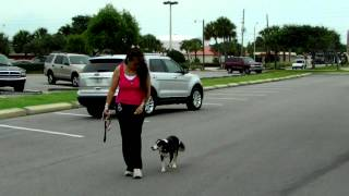 Border Collie Bull Terrier Molly Starting Off Leash Dogtra Pager E Collar