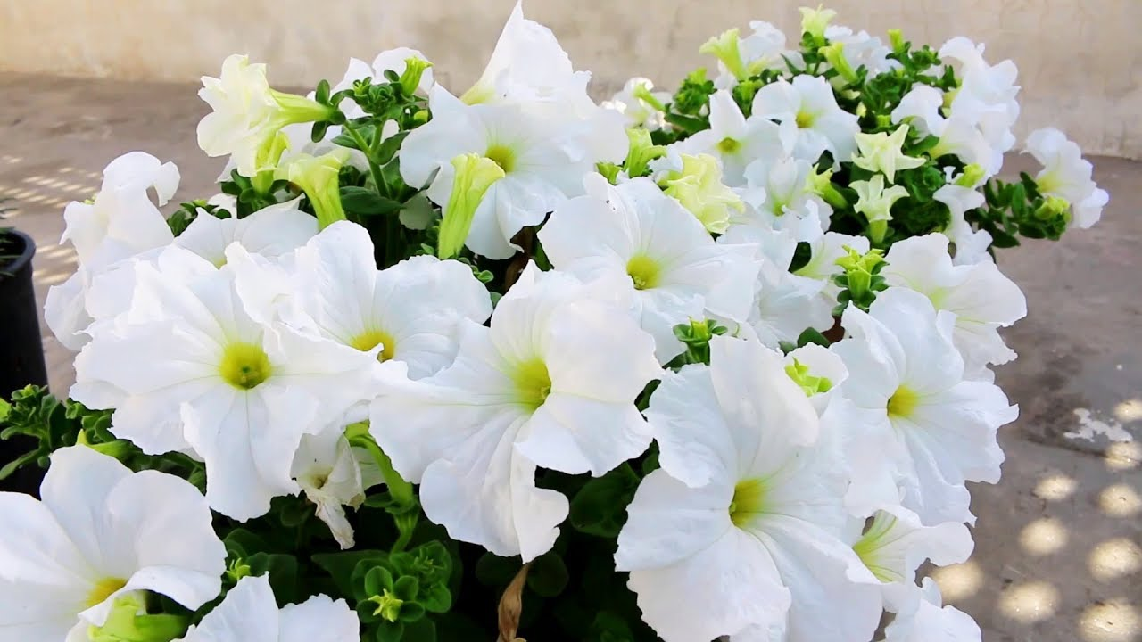 Petunia Flowers Growing And Care Urdu Hindi Youtube