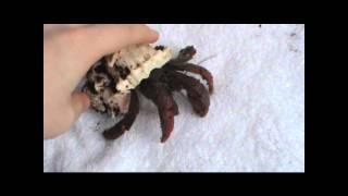 Hermit Crab Handling