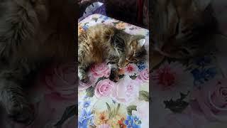 Кошка просит кота  10 месяцев