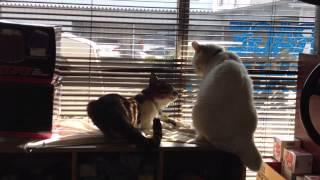 飼い猫のペンスキー(白い方)とロッキード(キジトラ)のよくやるケンカです。
