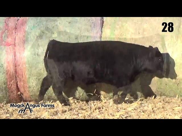 Mogck Angus Farms Lot 28