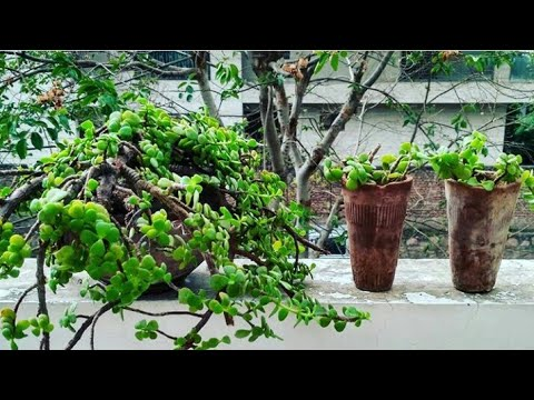 Crassula plant||Money attract plant||Feng shui plant||Jade plant